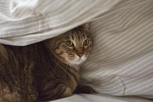 布団のなかに潜り込んでいる猫の写真素材 [FYI04728873]