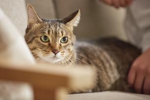 ソファの上に座る猫の写真素材 [FYI04728883]