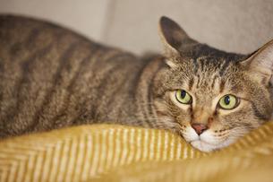 ソファの上に座る猫の写真素材 [FYI04728885]