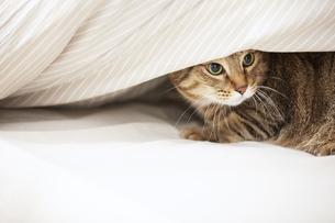 布団のなかに潜り込んでいる猫の写真素材 [FYI04728916]