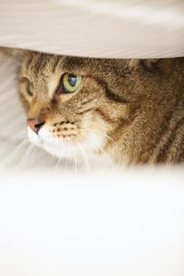 布団のなかに潜り込んでいる猫の写真素材 [FYI04728919]
