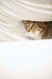 布団のなかに潜り込んでいる猫の写真素材 [FYI04728922]