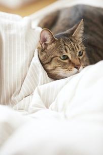 布団のなかに潜り込んでいる猫の写真素材 [FYI04728924]