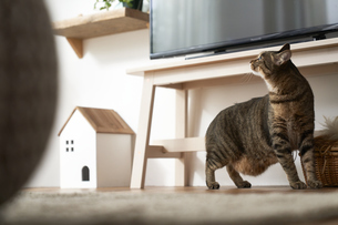 リビングルームで振り返る猫の写真素材 [FYI04728996]