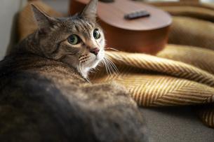 ソファの上からこちらを見ている猫の写真素材 [FYI04728997]