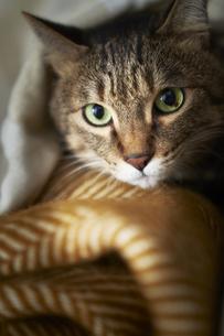 猫とブランケットの写真素材 [FYI04728999]