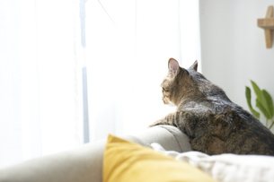 ソファの上から窓の外を覗いている猫の写真素材 [FYI04729004]