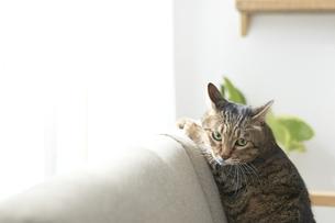 ソファの背もたれに前足をのせている猫の写真素材 [FYI04729005]