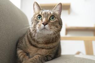 ソファの上に座っている猫の写真素材 [FYI04729006]