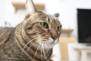 ソファの上に座っている猫の写真素材 [FYI04729007]