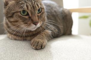 ソファの上に座っている猫の写真素材 [FYI04729008]