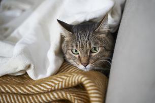 ソファの上でこちらを見ている猫の写真素材 [FYI04729012]