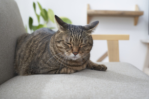 ソファの上でくつろぐ猫の写真素材 [FYI04729016]