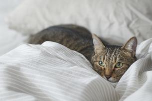 布団のなかに潜り込んでいる猫の写真素材 [FYI04729021]