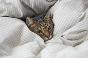 布団のなかに潜り込んでいる猫の写真素材 [FYI04729022]
