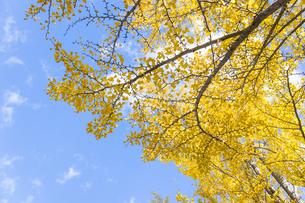 黄色に色づいた銀杏の葉と青空の写真素材 [FYI04729596]