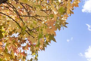 様々に色づいた楓の葉と青空の写真素材 [FYI04729597]