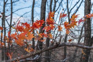 紅葉、最後の輝きの写真素材 [FYI04729852]