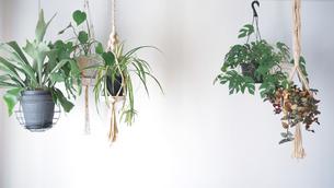 吊るし植物のハンギンググリーンがある室内の写真素材 [FYI04729976]