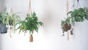 吊るし植物のハンギンググリーンがある室内の写真素材 [FYI04729977]