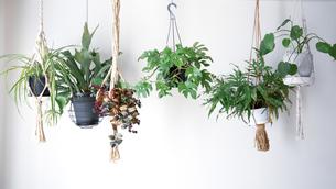 吊るし植物のハンギンググリーンがある室内の写真素材 [FYI04729979]