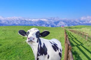 青空と雪山を背景の高原の牧場で、カメラ目線の牛。の写真素材 [FYI04730012]