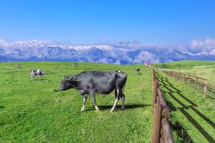青空と雪山を背景の高原の牧場で、草を食む数頭の牛。の写真素材 [FYI04730013]