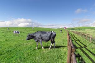 青空と雲海を背景の高原の牧場で、草を食む数頭の牛。の写真素材 [FYI04730014]