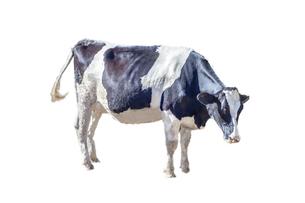 牛の立ち姿、横姿の切り抜き用素材の写真素材 [FYI04730064]