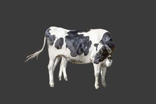 牛の立ち姿、横姿の切り抜き用素材の写真素材 [FYI04730065]