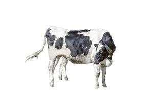 牛の立ち姿、前景の切り抜き用素材の写真素材 [FYI04730066]
