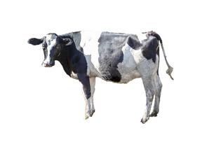 牛の立ち姿、横姿の切り抜き用素材の写真素材 [FYI04730067]