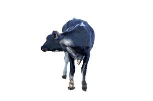 牛の立ち姿、前景の切り抜き用素材の写真素材 [FYI04730068]