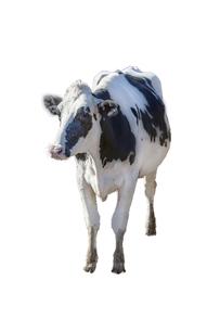 牛の立ち姿、前景の切り抜き用素材の写真素材 [FYI04730070]