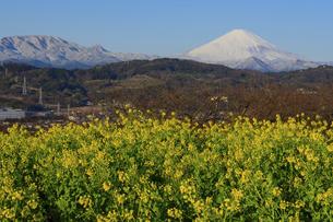 神奈川県二宮町 吾妻山公園 富士山と菜の花の写真素材 [FYI04730211]