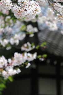 満開の桜の花が咲く日本の春の風景の写真素材 [FYI04730227]
