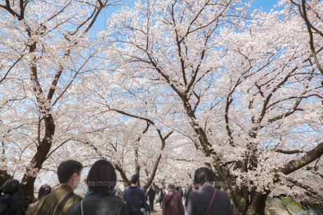京都 背割堤で満開の桜の木の下を歩く人々の写真素材 [FYI04730409]