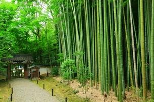 新緑の地蔵院(竹の寺)の写真素材 [FYI04730550]