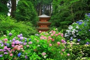 アジサイ咲く岩船寺の写真素材 [FYI04730742]