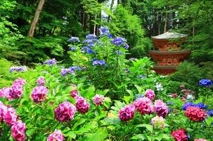 アジサイ咲く岩船寺の写真素材 [FYI04730753]