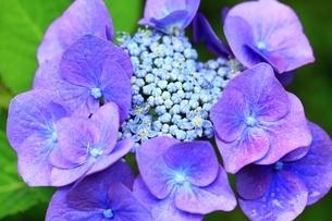紫陽花の写真素材 [FYI04730762]