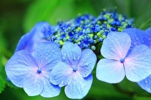 紫陽花の写真素材 [FYI04730770]