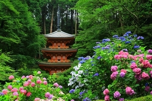アジサイ咲く岩船寺の写真素材 [FYI04730780]