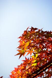 モミジの紅葉の写真素材 [FYI04730796]