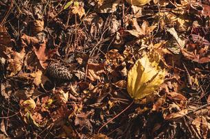 【秋】山道の地面に落ち葉と松ぼっくり 紅葉 の写真素材 [FYI04730839]