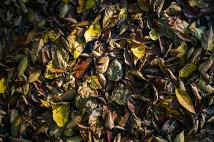 【秋】山道の地面に落ち葉 紅葉の写真素材 [FYI04730841]