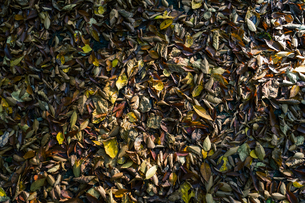 【秋】山道の地面に落ち葉 紅葉の写真素材 [FYI04730845]