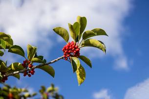 赤い実をつけたモチノキの写真素材 [FYI04730863]