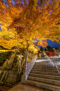 黄金に色づいた阿夫利神社の紅葉の写真素材 [FYI04730931]