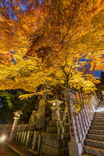 黄金に色づいた阿夫利神社の紅葉の写真素材 [FYI04730934]